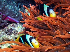 clown fish in anemone photo